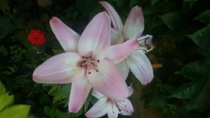 Lilien my Love!